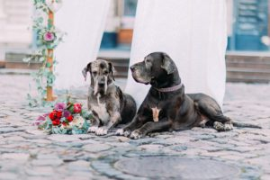 Couple of purebred dogs sitting on the pavement near the wedding tent.